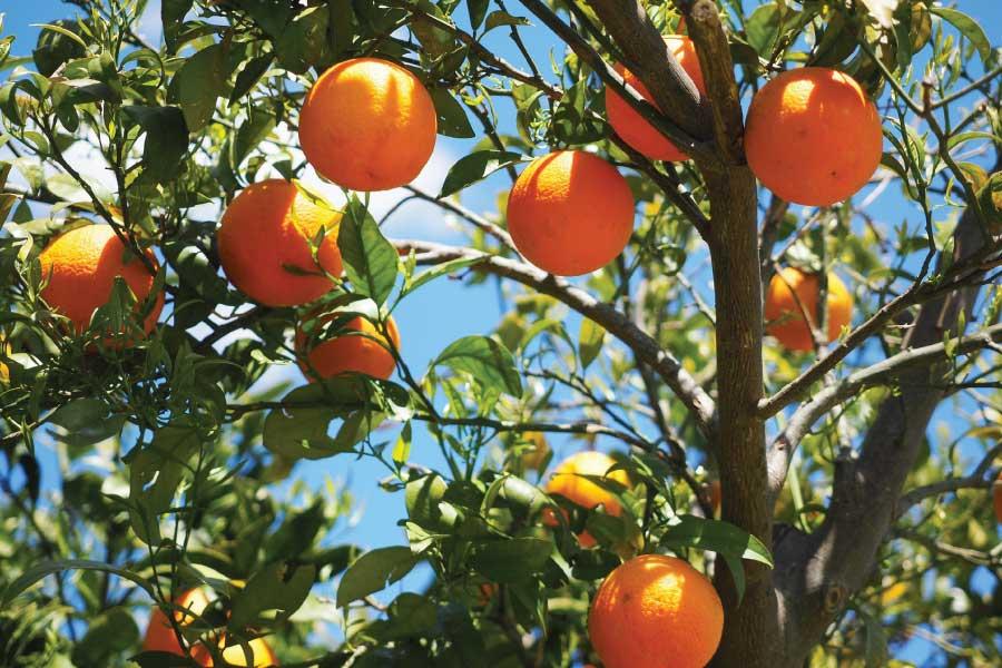 De antioxidanten in kombucha: ongekend veel vitamine C!