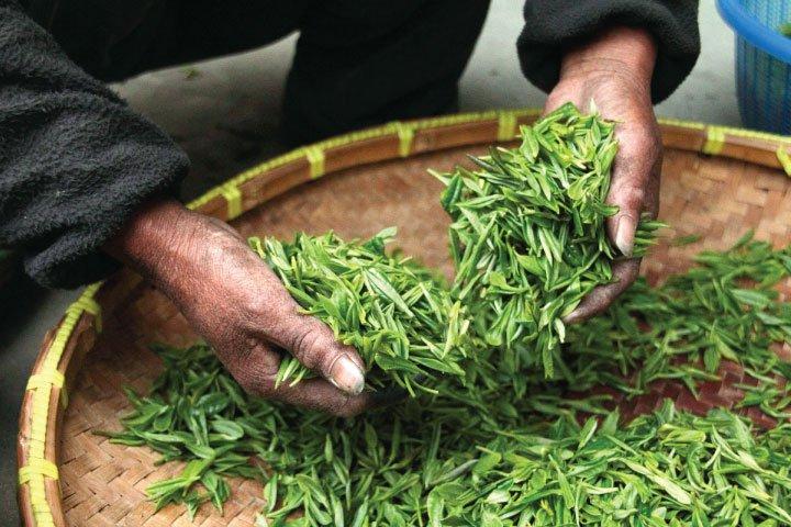 De 5 beste soorten thee voor kombucha: en de slechtste…